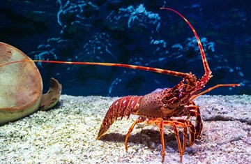 Business Succession Lessons From A Crayfish
